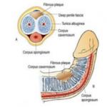 etude sur comment agrandir le penis